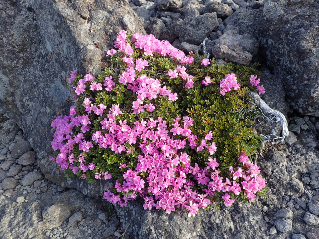 韓国岳山頂にこじんまりと咲いていたミヤマキリシマ