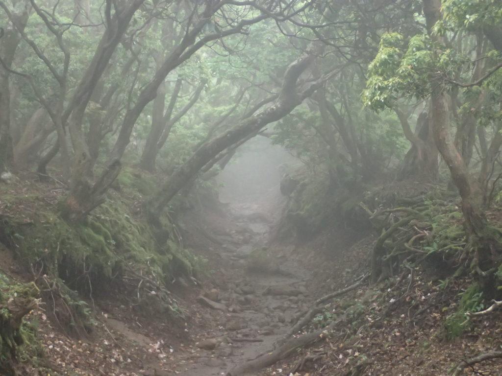 天城山のアセビのトンネル