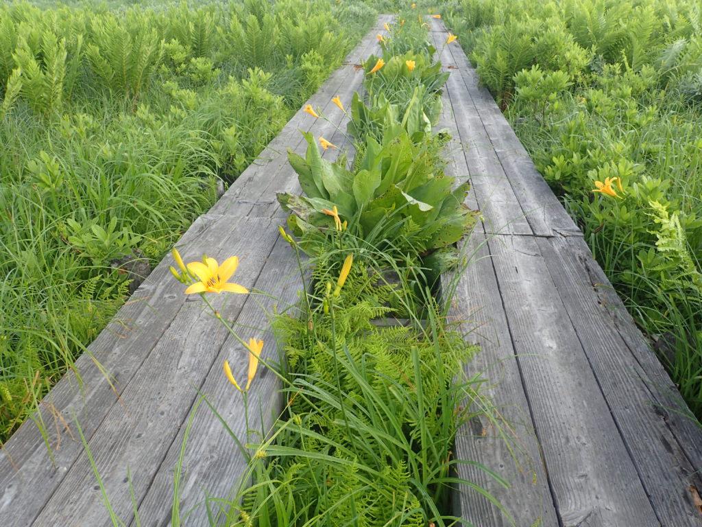 尾瀬に咲くニッコウキスゲ