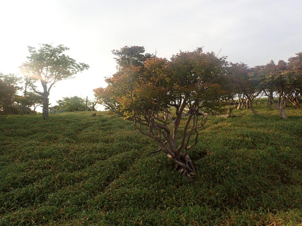 大台ヶ原山のブラウジングライン