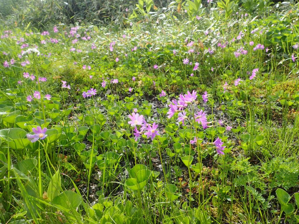 妙高山登山道(黒沢池付近)に咲くハクサンコザクラ