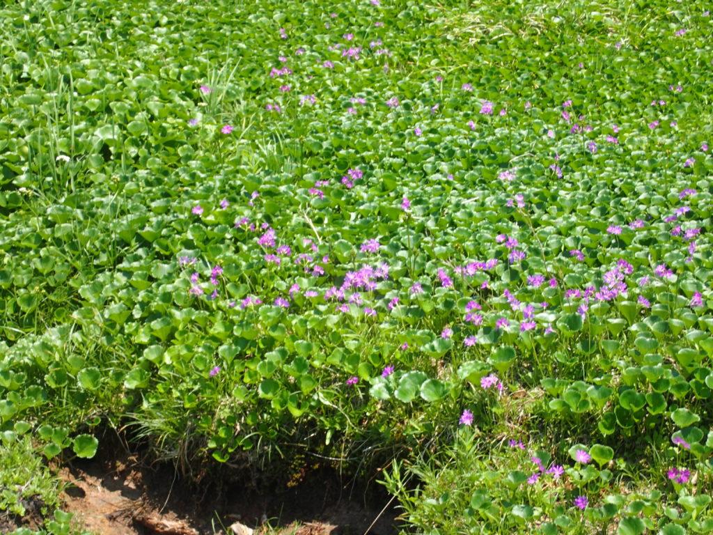 天狗の庭近くに咲くハクサンコザクラ
