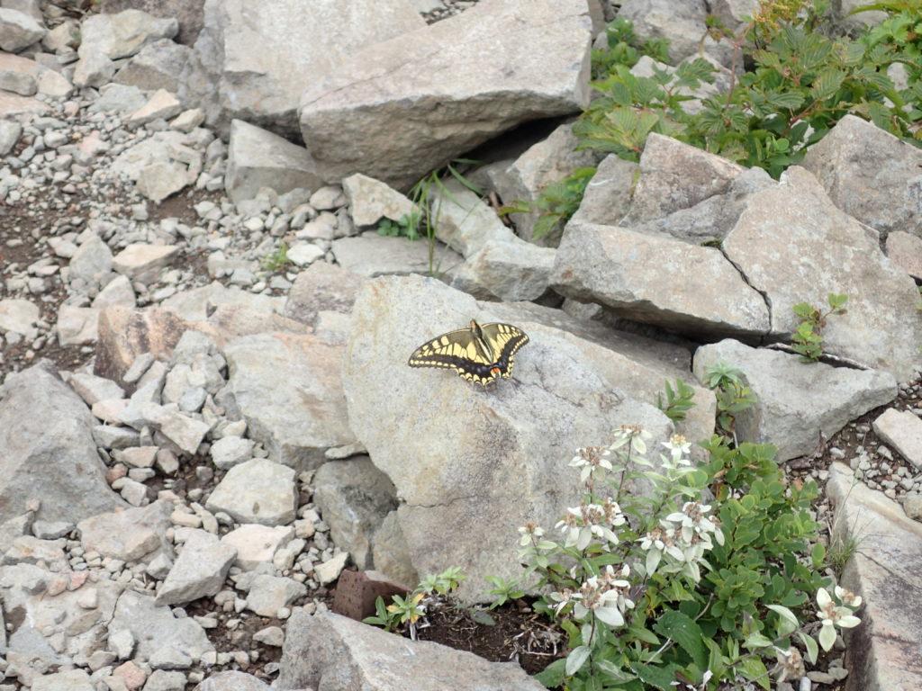 磐梯山山頂の蝶