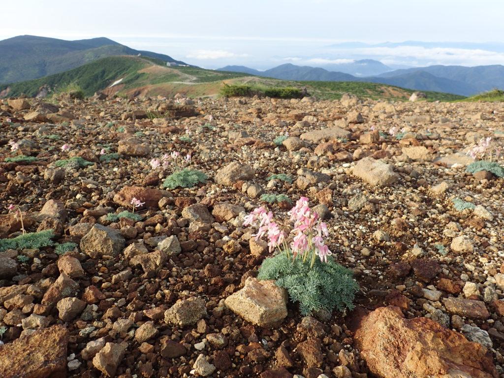 蔵王山に咲くコマクサ