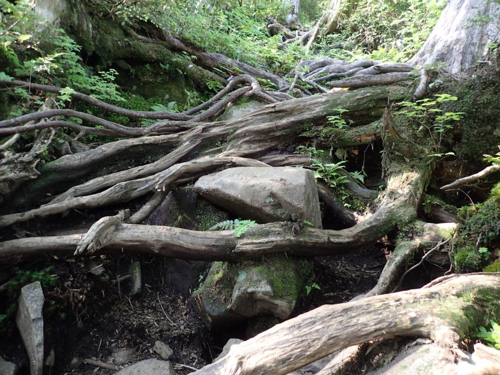 武尊山の剣ヶ峰山ルートの木の根っこ