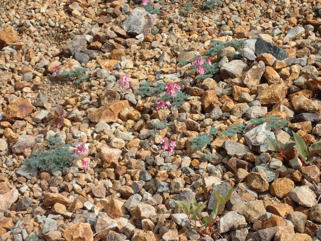 本白根山付近に咲くコマクサ