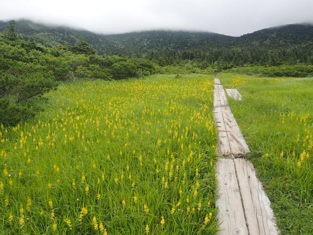 八甲田山の毛無岱の木道とキンコウカの群生