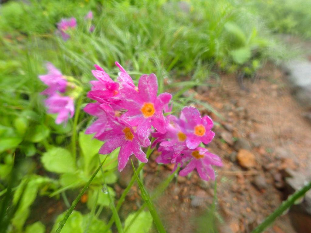 岩木山に咲くミチノクコザクラ