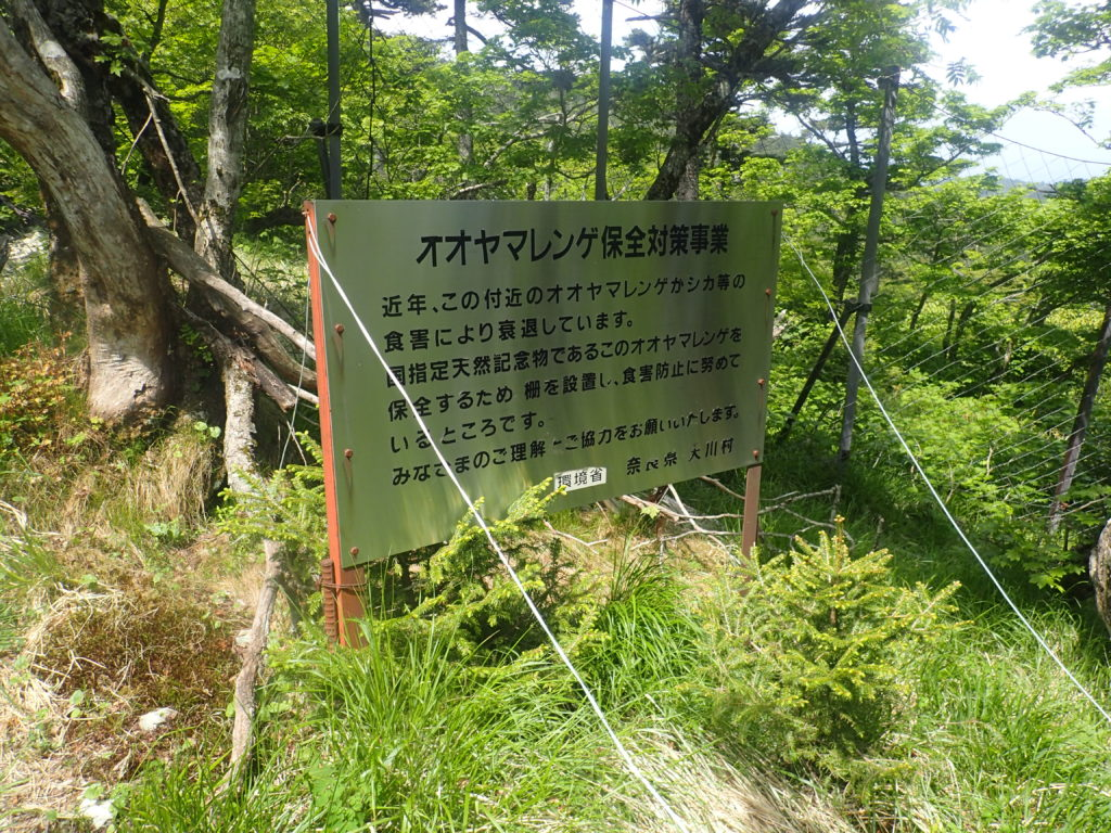 大峰山の八経ヶ岳に向かう途中にある鹿からのオオヤマレンゲ保護についての看板