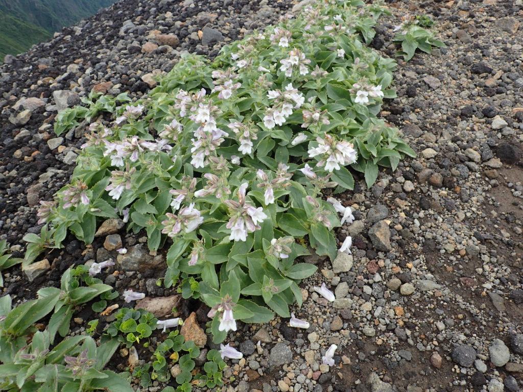 岩手山に咲くイワブクロ