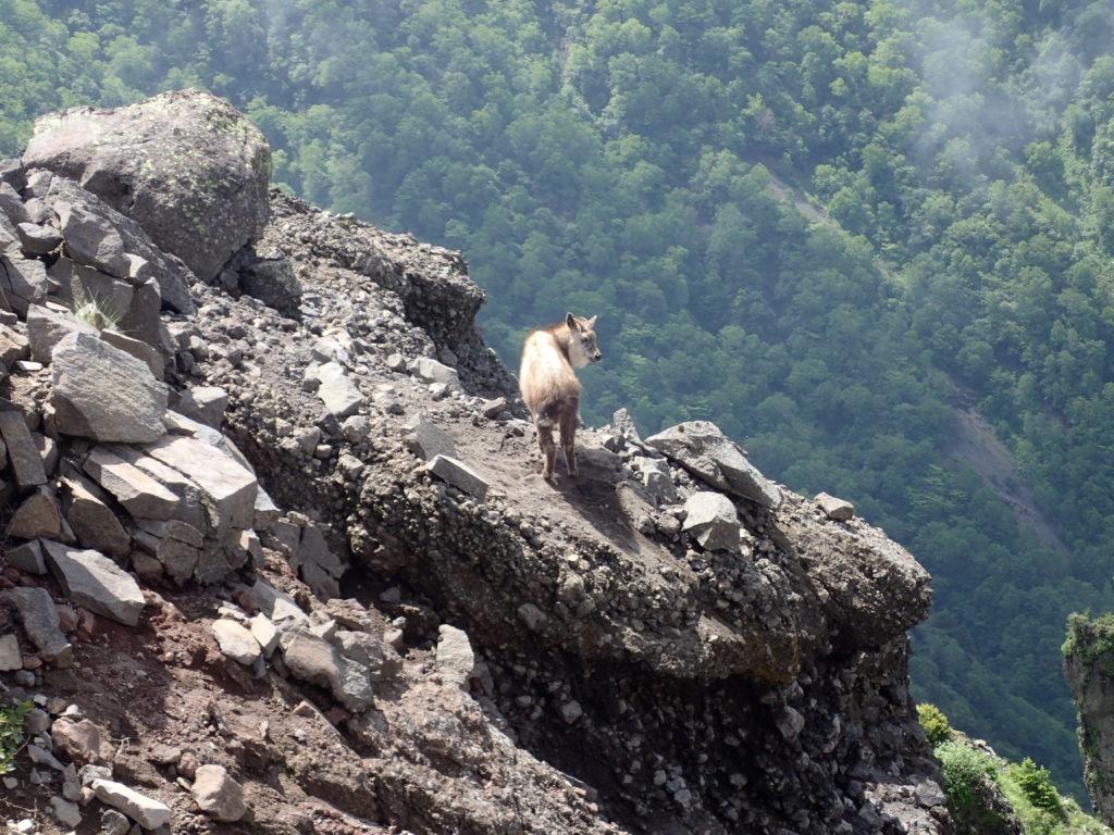 槍ヶ鞘付近の登山道脇の崖に立つカモシカ