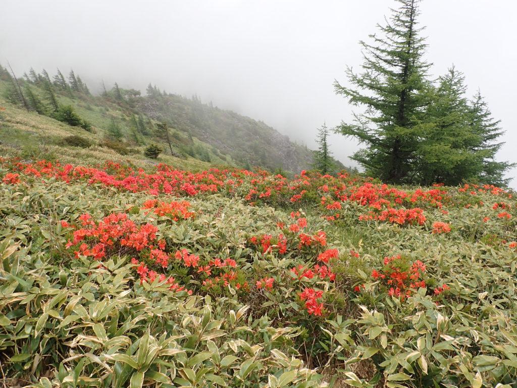 美ヶ原高原に咲くレンゲツツジ