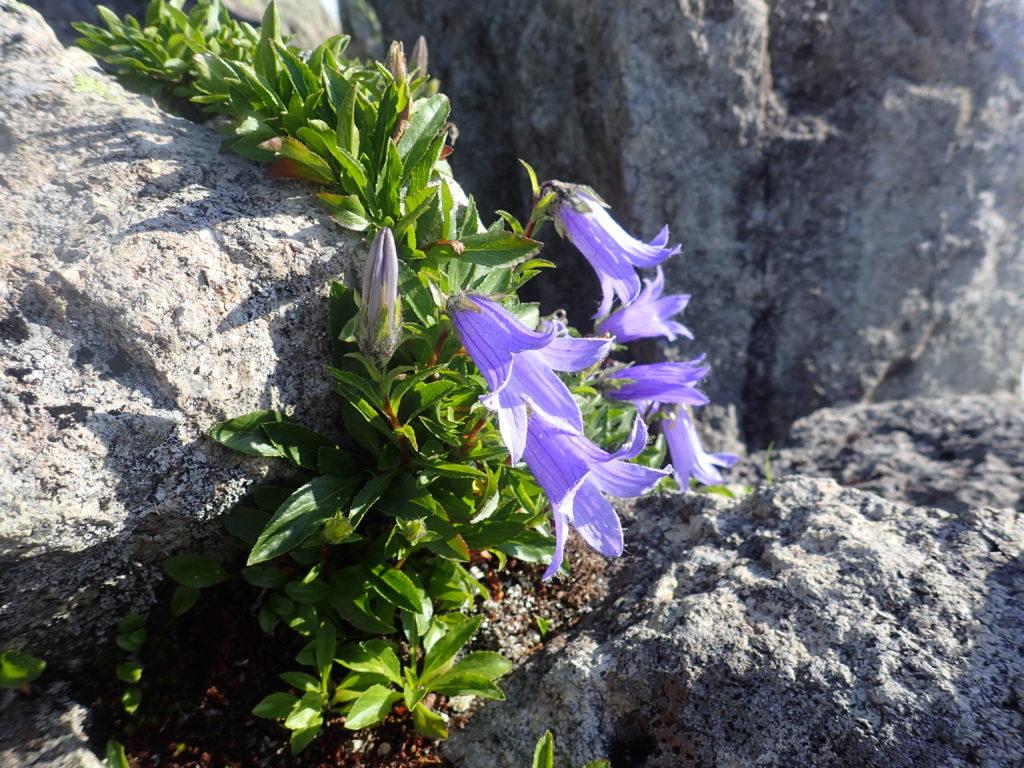 高妻山山頂の高山植物