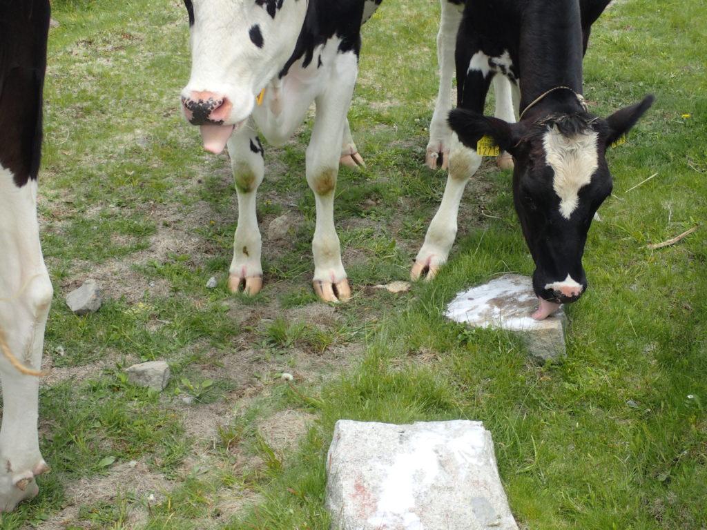 塩をなめる美ヶ原高原の牛
