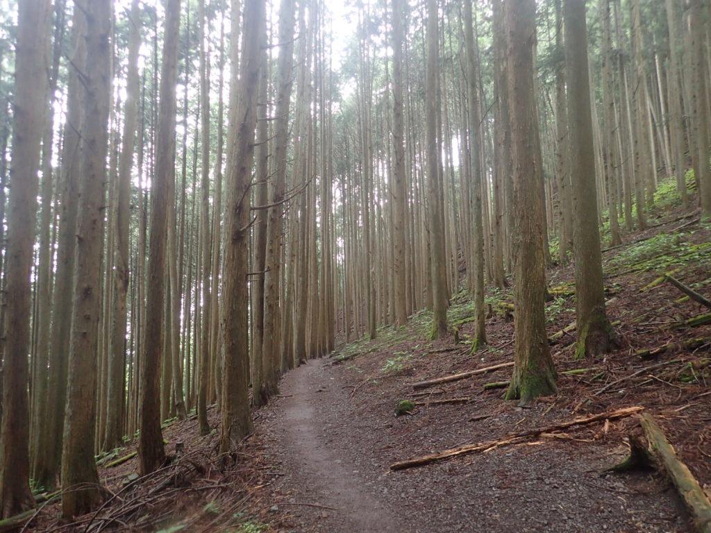 雲取山登山道の杉林