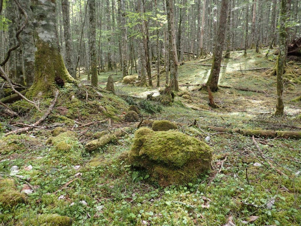 美濃戸から赤岳鉱泉に向かう登山道脇のコケ
