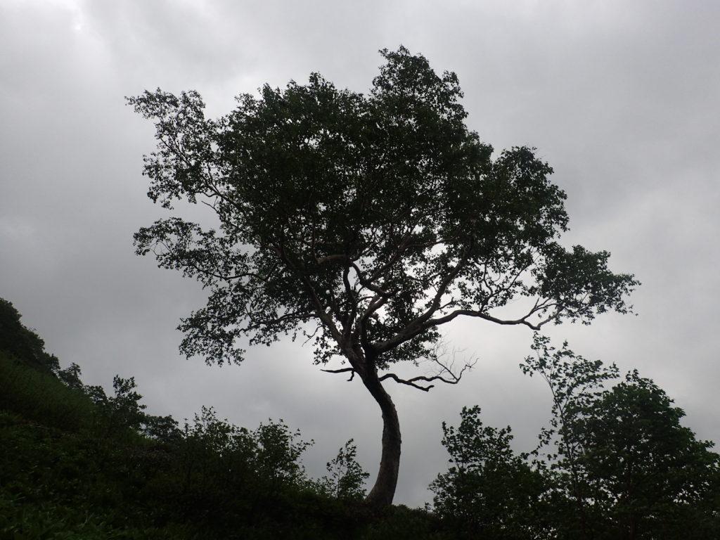 飛騨沢カールの宝の木