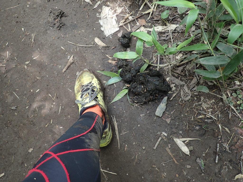 トムラウシ山登山道のヒグマのフン