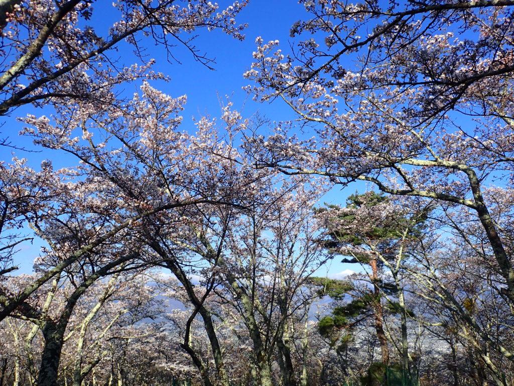 光城山で花見登山