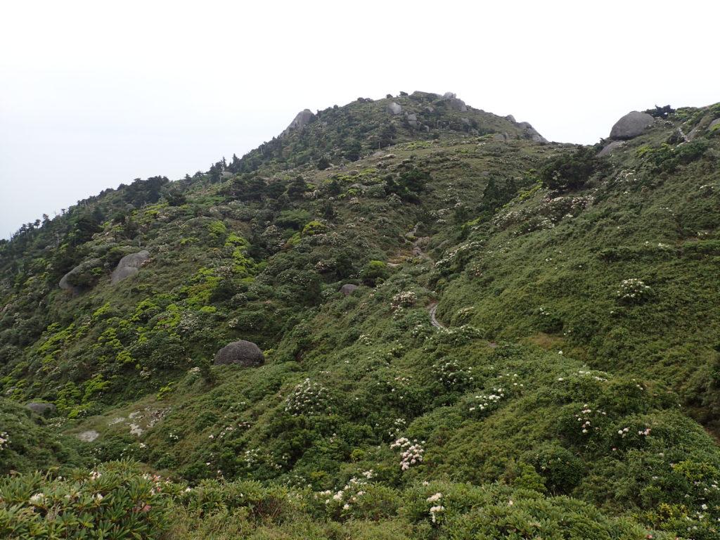 山肌に咲くヤクシマシャクナゲを下方から撮影