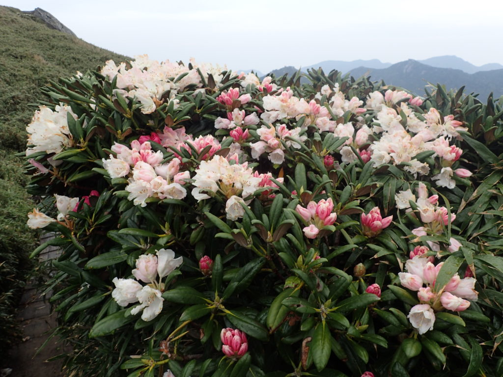 登山道の脇に咲くヤクシマシャクナゲ