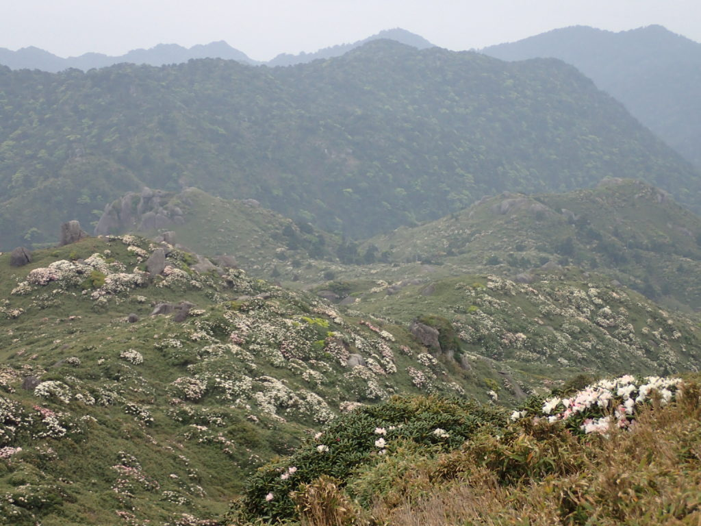 山肌に群生するヤクシマシャクナゲを上方から撮影