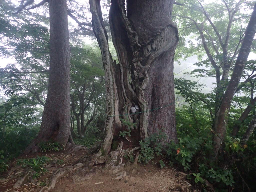 朝日岳登山道の合体の木