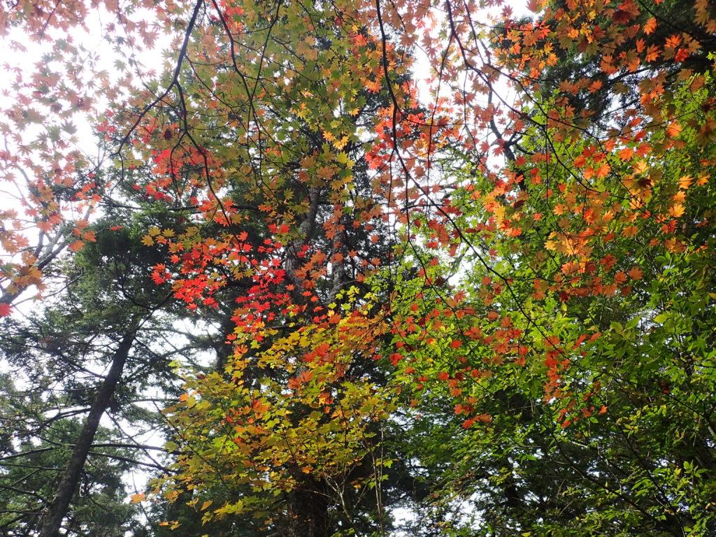 聖岳の便ヶ島ルート登山道の紅葉