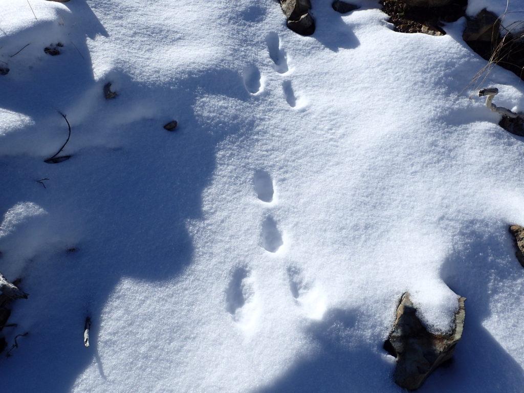 仙丈ヶ岳稜線のウサギの足跡