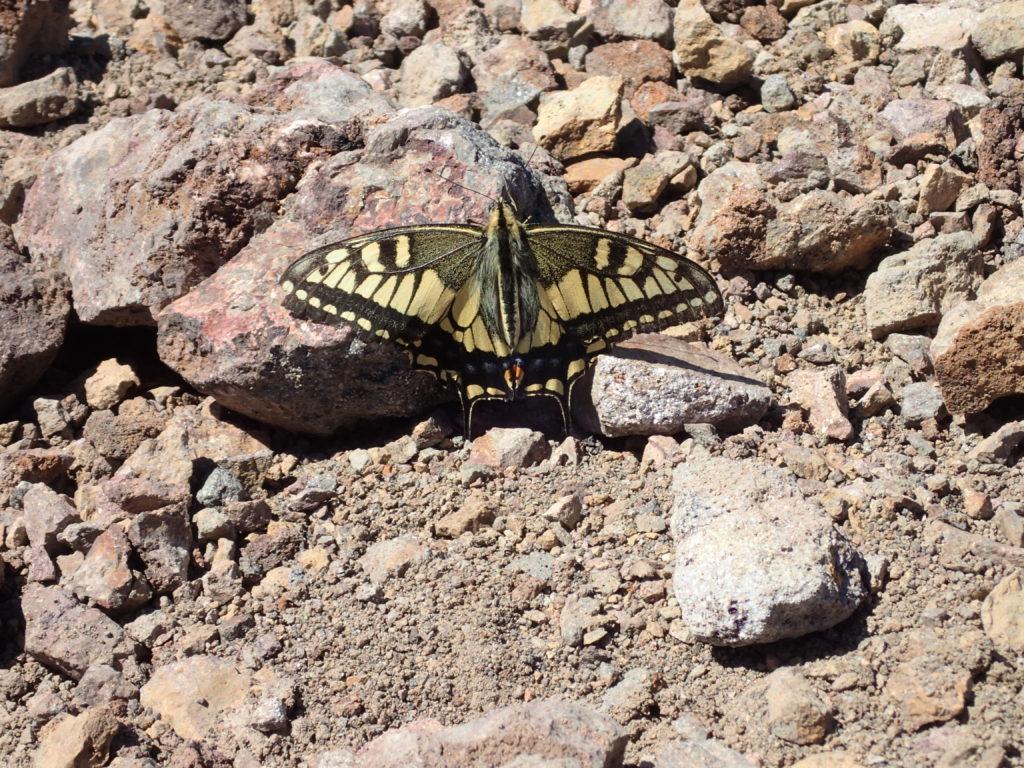斜里岳山頂の蝶