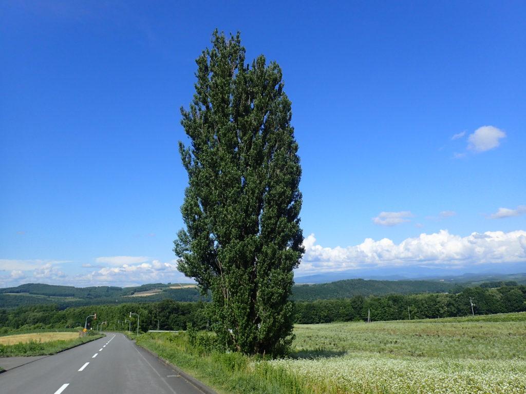 北海道美瑛町のケンメリの木