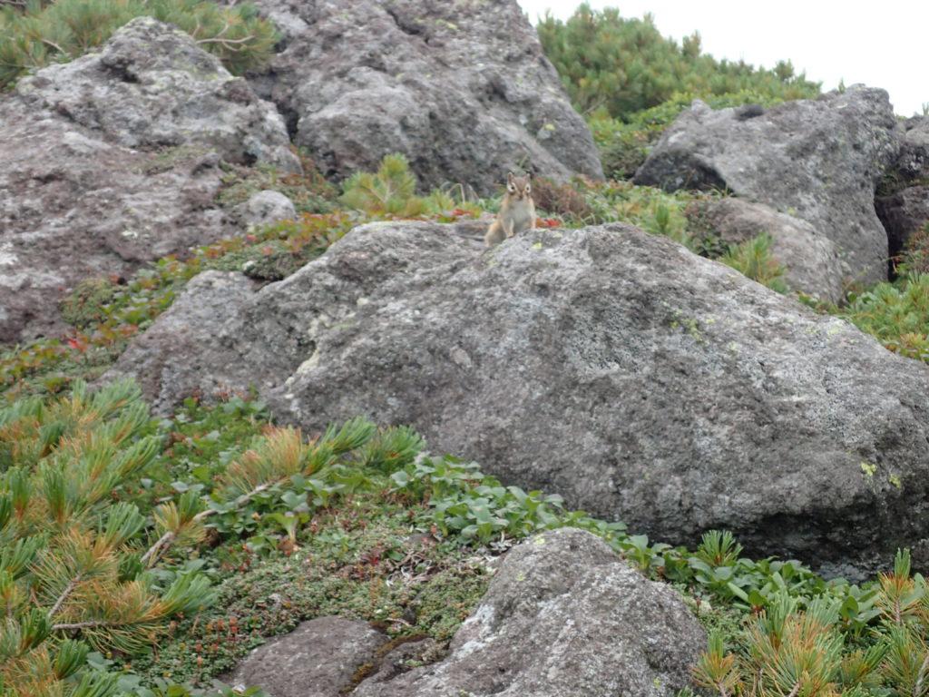 トムラウシ山登山道のリス