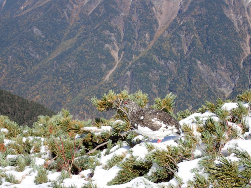 仙丈ヶ岳稜線の雷鳥
