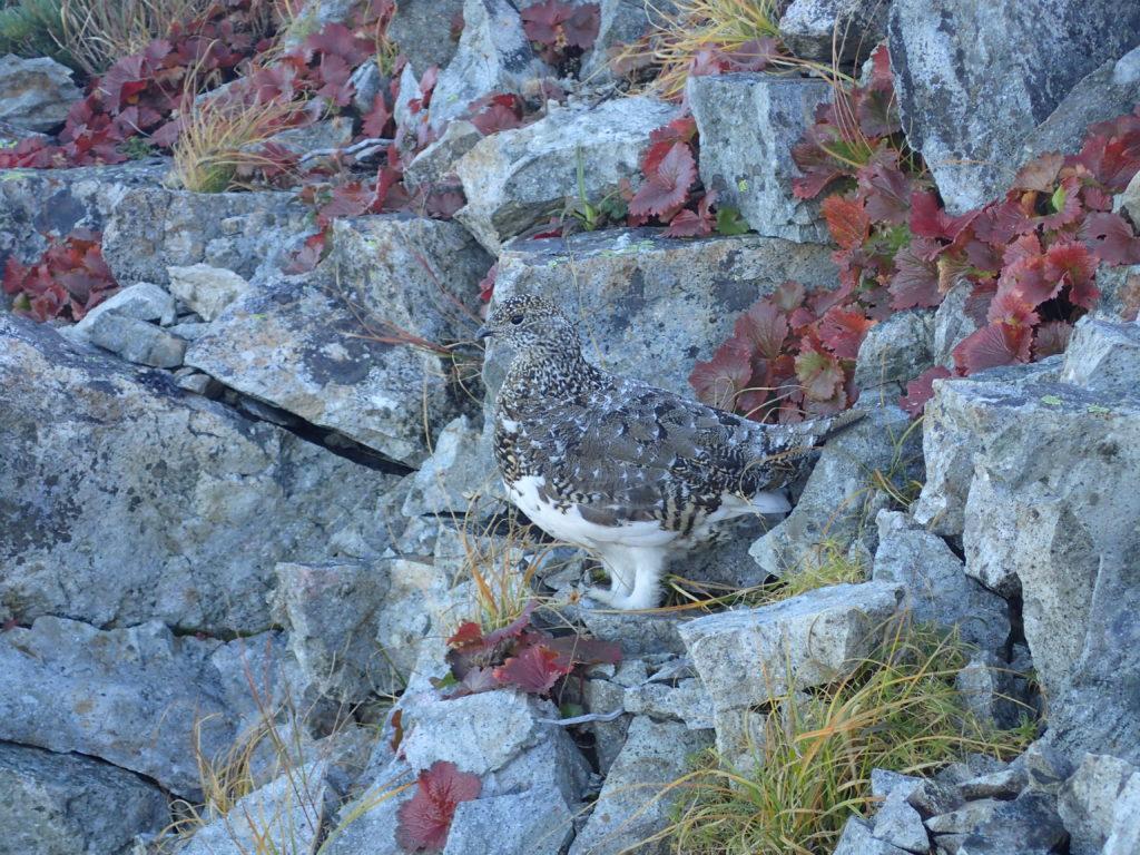 爺ヶ岳の中峰付近で遭遇した雷鳥