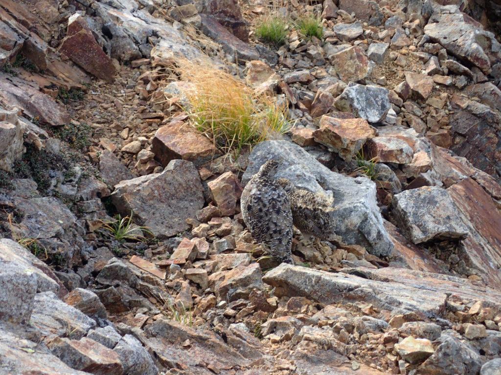 五竜岳登山の際に牛首の鎖場で遭遇した雷鳥