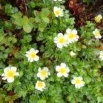 雨の爺ヶ岳に咲く高山植物(2018年7月7日)
