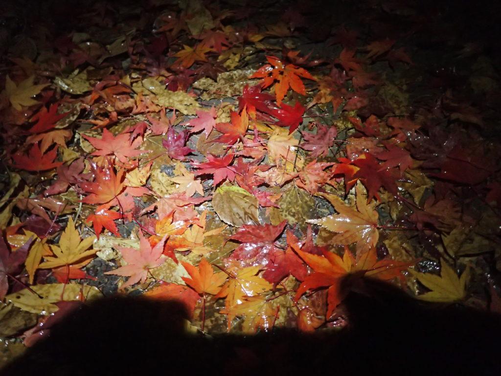 光城山夜間登山にてブラックダイヤモンドの登山用ヘッドライトであるストームの灯りで登山道に落ちた紅葉の落ち葉を照らす。