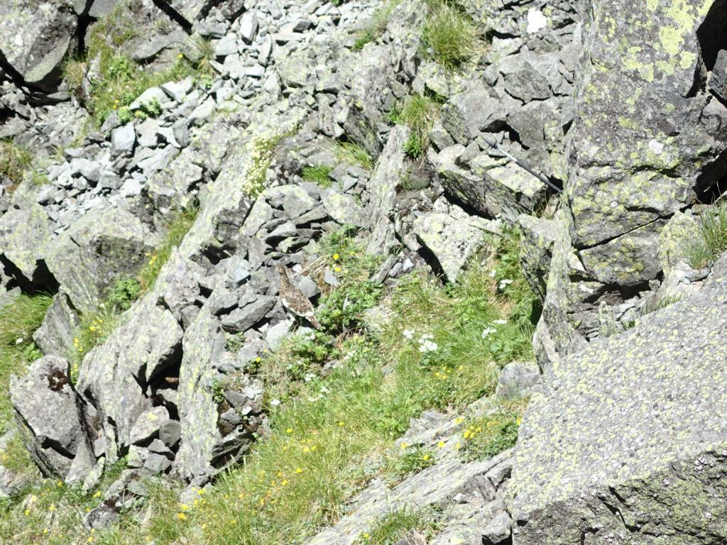 槍ヶ岳から穂高岳の縦走登山で会うことができた雷鳥