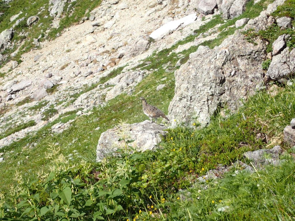 笠ヶ岳登山で会うことができた雷鳥