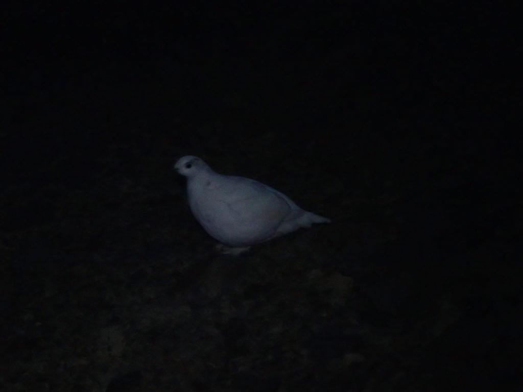まだ暗い蝶ヶ岳稜線にたたずむ白く衣替えをした雷鳥