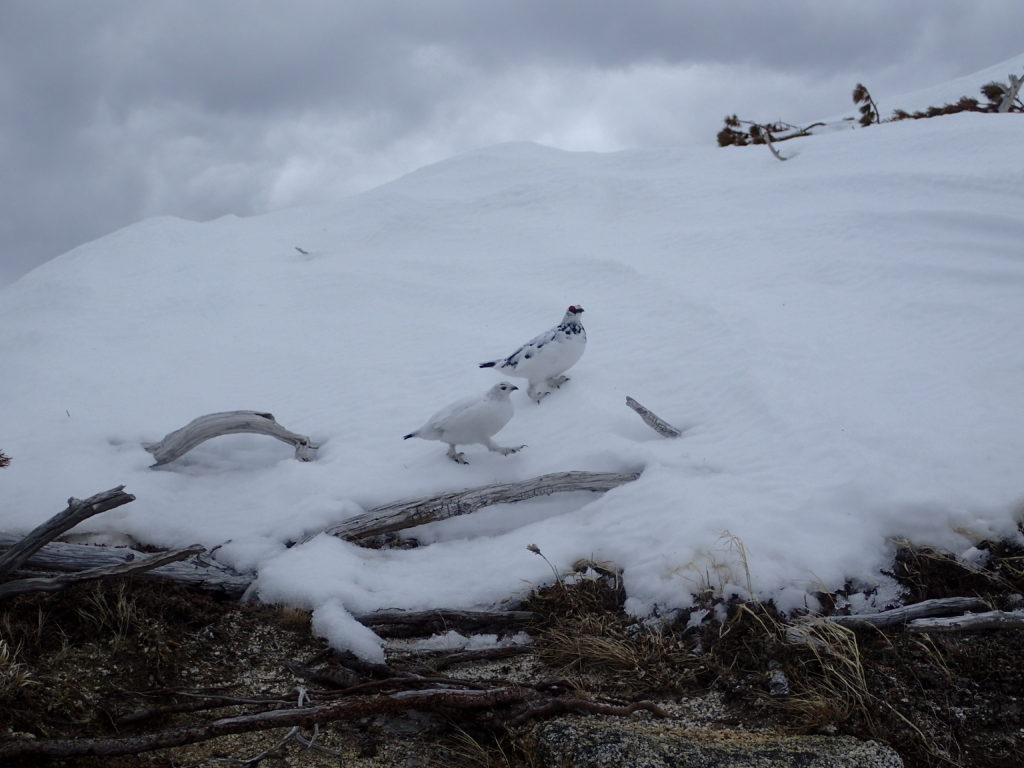 残雪の燕岳稜線で出会うことができたつがいの雷鳥