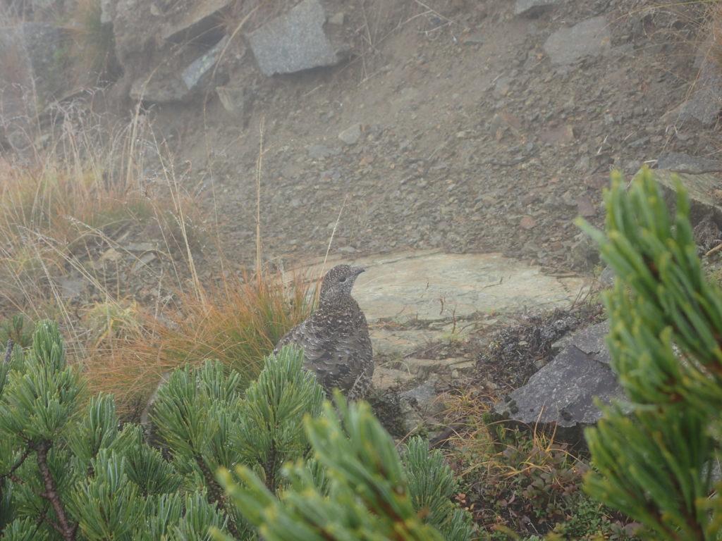 霧の西穂高岳山頂に現れた雷鳥