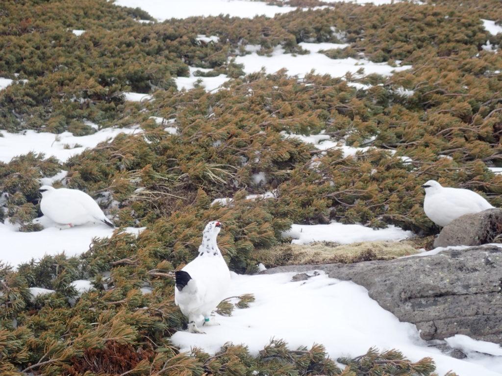 積雪期の乗鞍岳で会うことができた3羽の白い羽毛の雷鳥