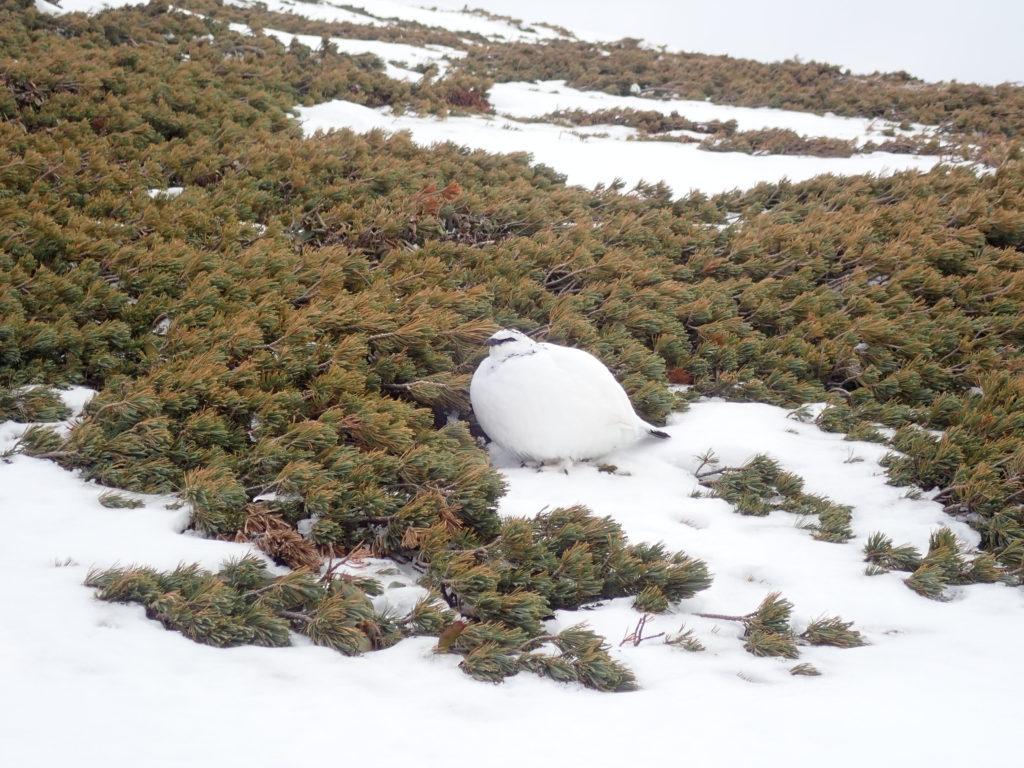 積雪期の乗鞍岳で寒さに耐えるためにまるまった雷鳥