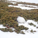 積雪期の乗鞍岳登山で会うことができた3羽の白い羽毛の雷鳥