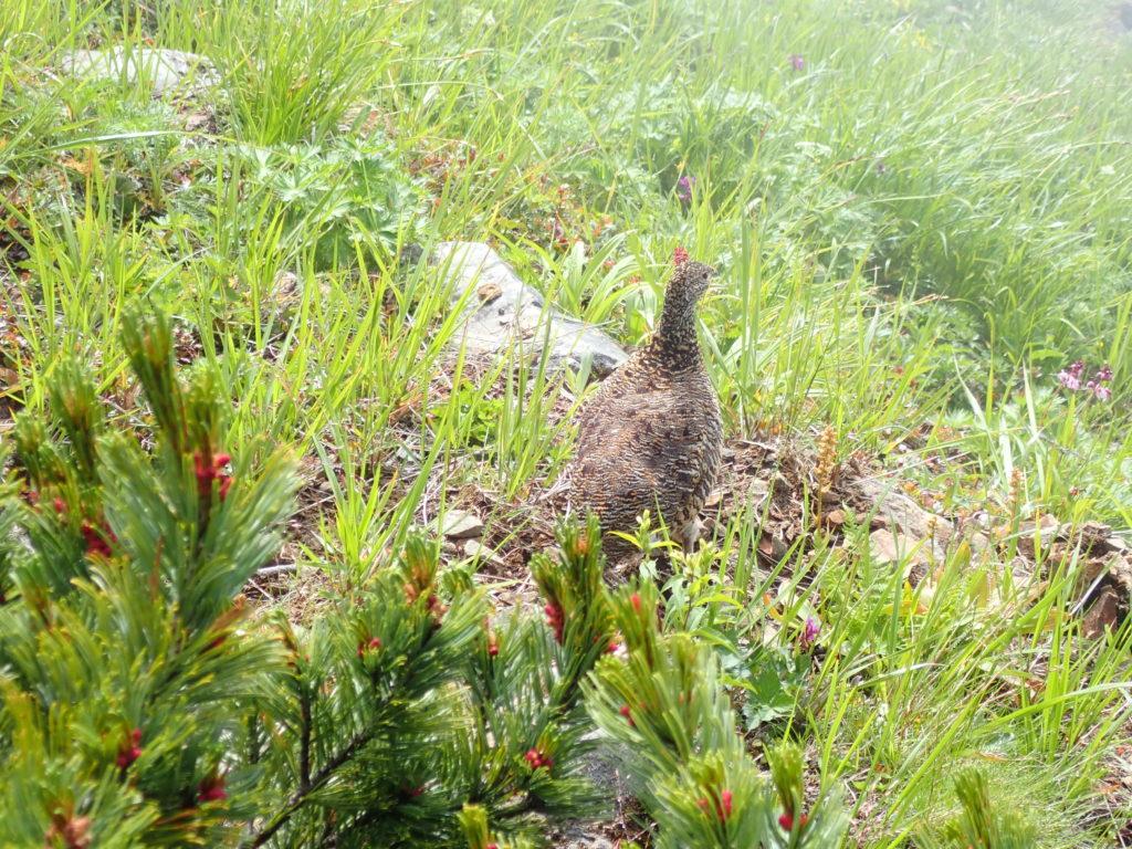 鹿島槍ヶ岳で出会えた雌の雷鳥