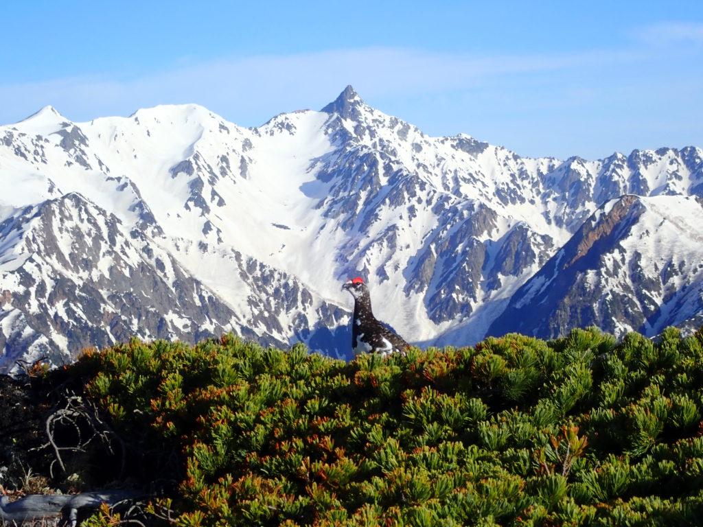 北アルプス蝶ヶ岳で撮影した雷鳥と槍ヶ岳