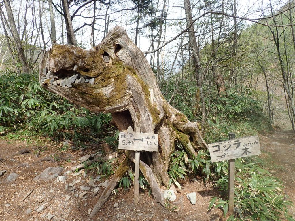 北アルプス蝶ヶ岳の三股ルートにあるゴジラみたいな木(三股ゴジさん)