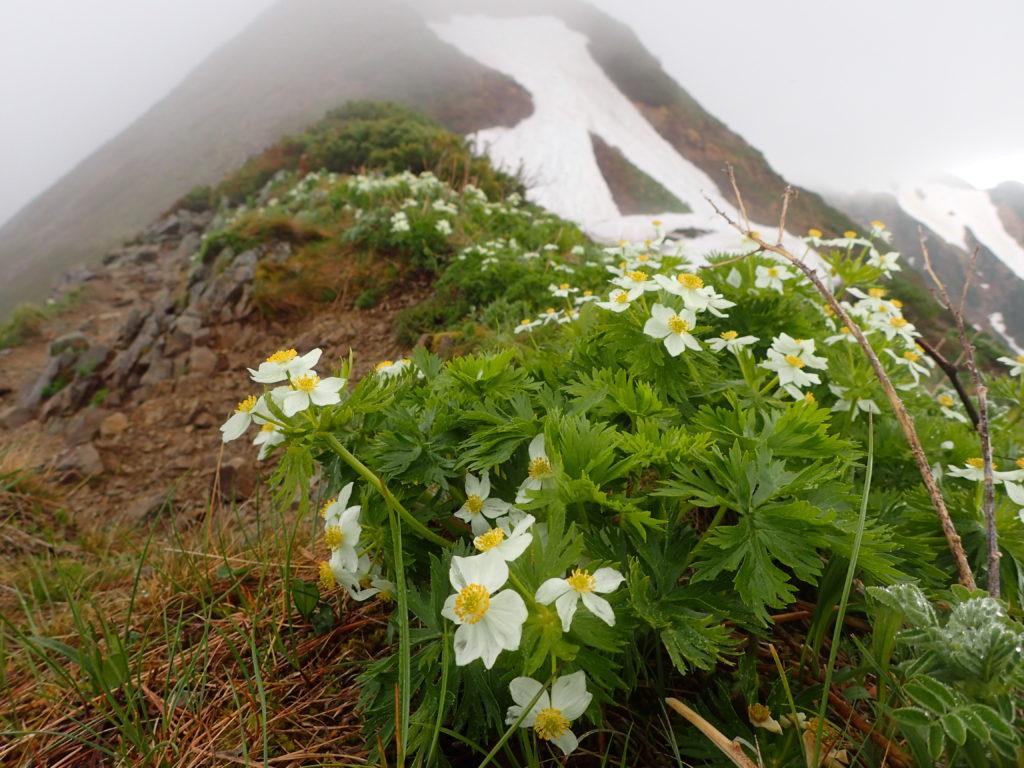 北アルプス鹿島槍ヶ岳の登山道に咲いていたハクサンイチゲ