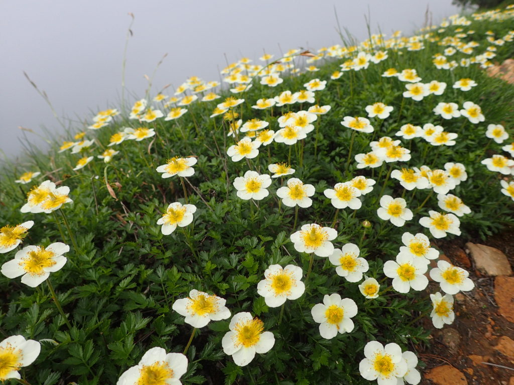 北アルプス爺ヶ岳の登山道に咲くチングルマ